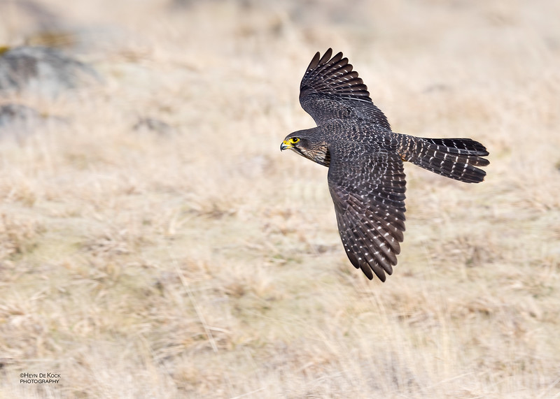 New Zealand Falcon, Mount Cook NP, SI, NZ, Aug 2018-3.jpg