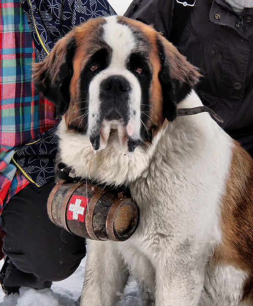 A St. Bernard poses at the Gornergrat train station. It is the National Dog of Switzerland and a symbol of Swiss mountain rescue. One very famous dog, Barry, saved between 40 and 100 people and is reverently preserved in the Swiss Natural History Museum. Well intended cross-breeding in the 1800's created fur problems that hampered the breed's durability in snow, so they are not used much for rescue now.
