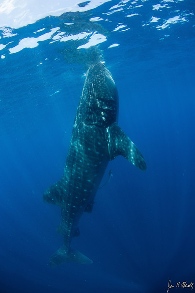 Jim Abernethy photo: the same shark, showing the upright, <i>botella</i> (bottle) position.