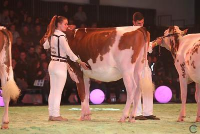 Swiss Expo Red Holstein Hfr 17