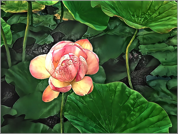 Water Lilies Fantasy