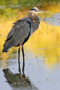Bitterns, Herons, Egrets, & Other Wading Birds