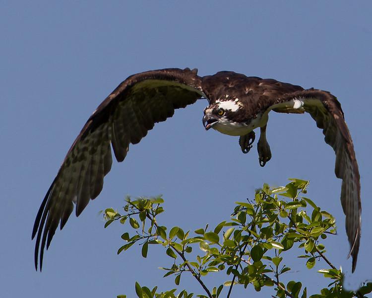 ospreyinflight-6-2012.jpg