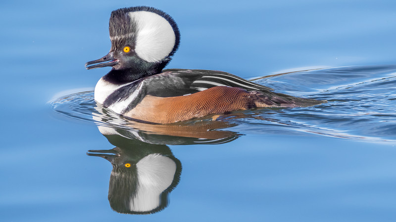00 0045 Hooded Merganser 0017c 16x9.jpg