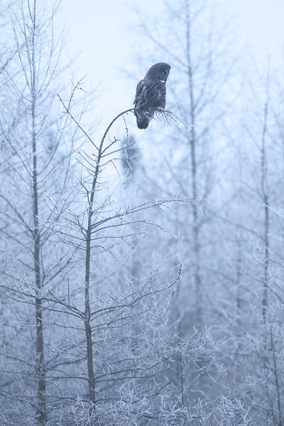 Great Gray Owl hoar frost Admiral Road Sax-Zim Bog MN IMG_1794.jpg