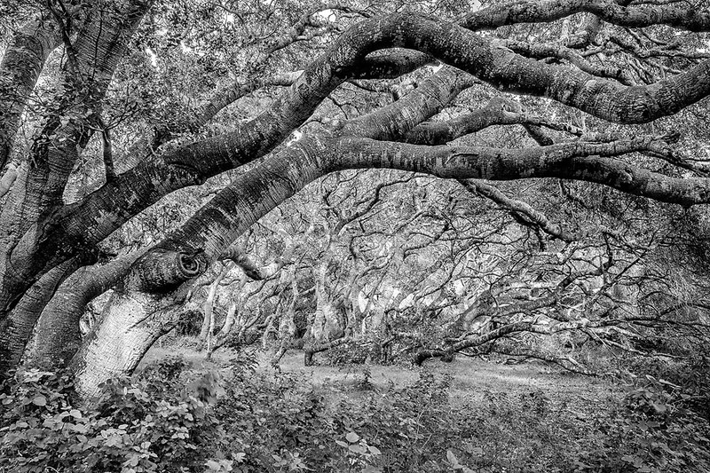 Los Osos Oaks Forest Preserve Central California Coast bw.jpg