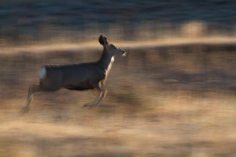 Mule Deer Teddy Roosevelt National Park ND IMG_7502.jpg