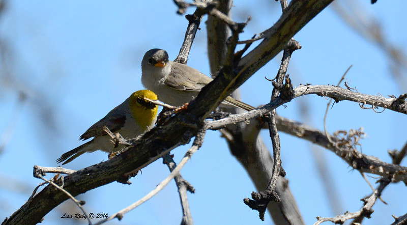 Verdin with fledgling - 4/6/2014 - Agua Caliente County Park, San Diego