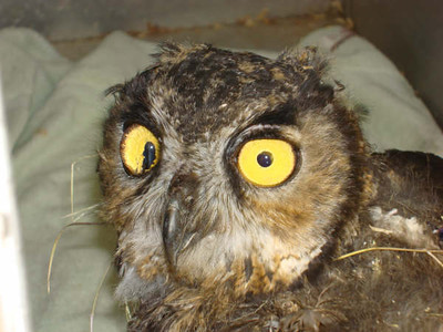 Some Great Photos of Great Horned Owls