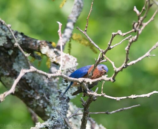 Bluebirds 6/2/13
