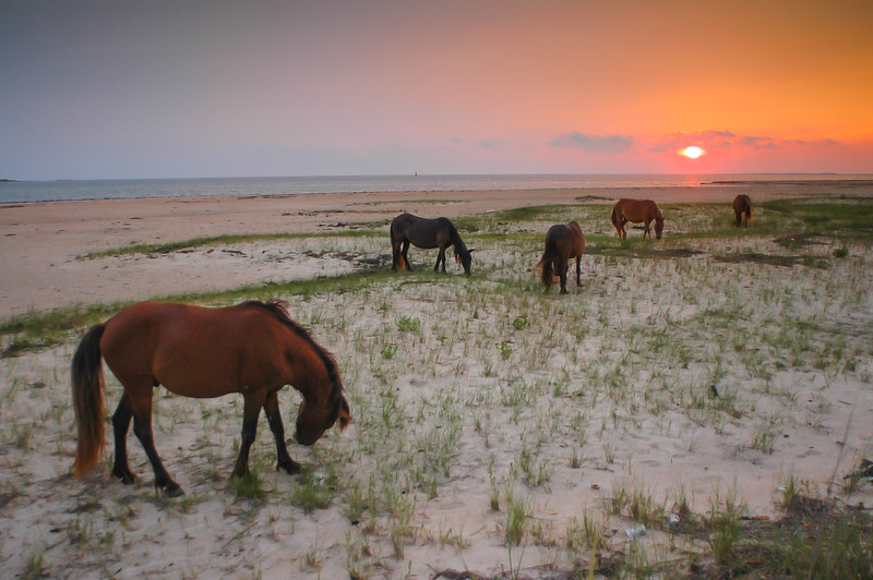 Wild Horses Grazing on Beach at Sunset #4