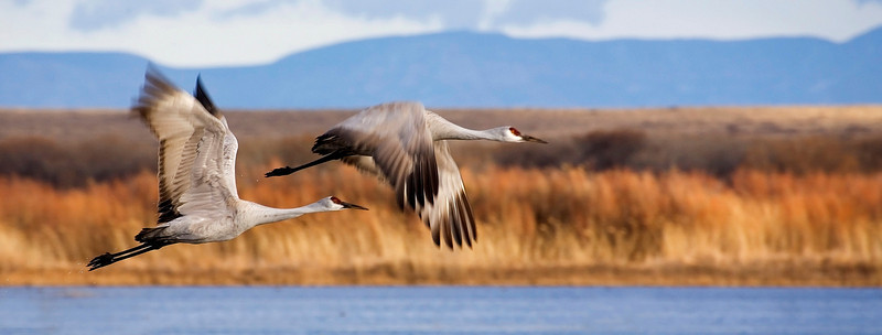 Sandhill Cranes in Flight.jpg