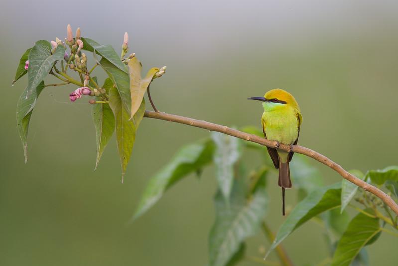 Green Bee-eater - Ambazari backwaters, Nagpur, India