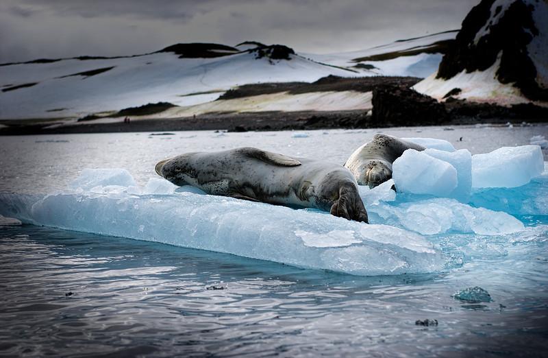 leopard seals 1-Edit.JPG
