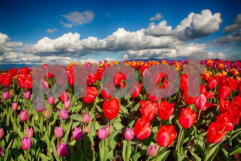 Tulips, Skagit 3970_HDR.jpg