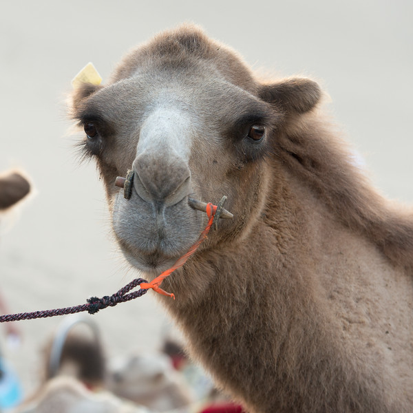 Camels of Dunhuang