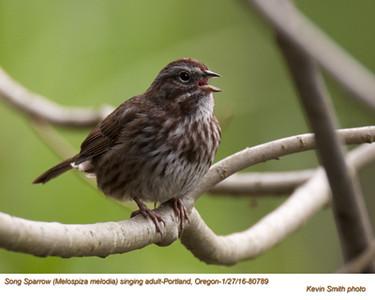 Song Sparrow A80789.jpg