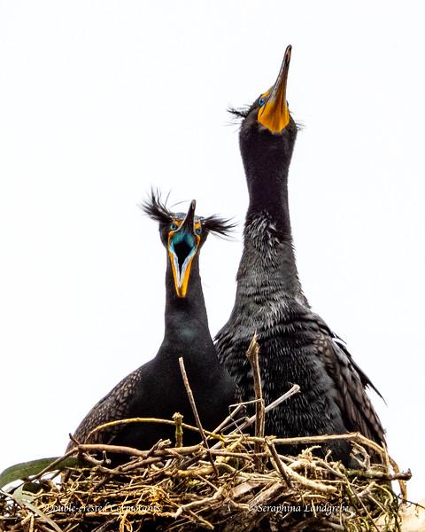_DSC0285Dragon DOuble-crested Cormorant.jpg