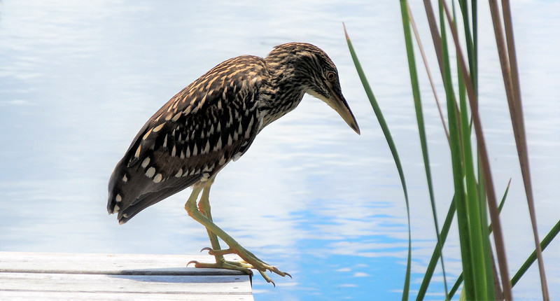 12_19_19 Juvenile Night-Heron.jpg