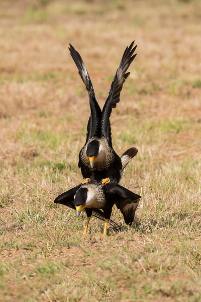 Crested Caracara - mating - Laguna Seca Ranch-Edinburg, TX