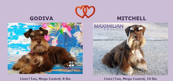Godiva & Mitchell Puppies, DOB 4/07/2021