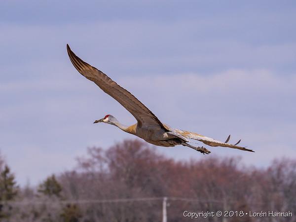 4/4/18 Local Snadhill Crane - Round Lake, IL