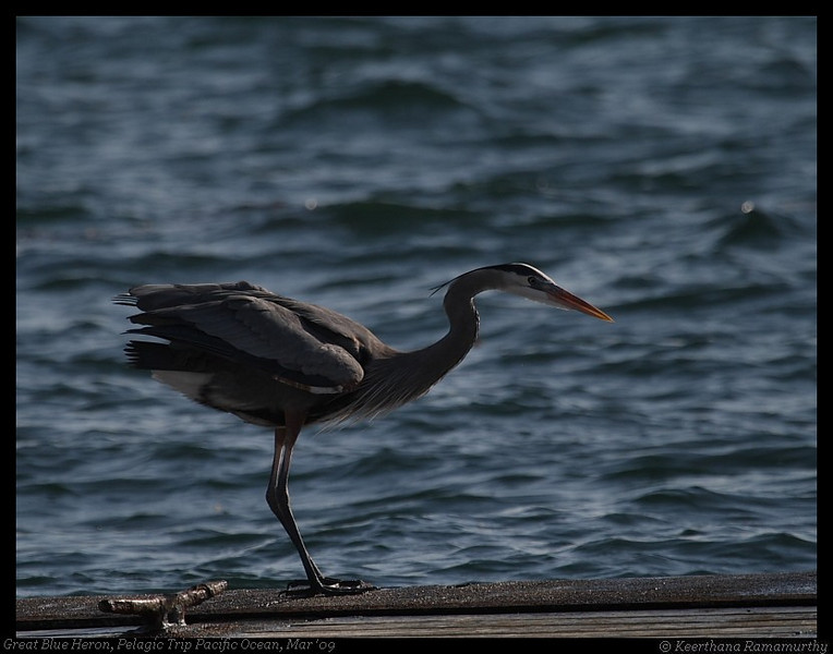 Great Blue Heron, Mission Bay, San Diego County, California, Mar 2009
