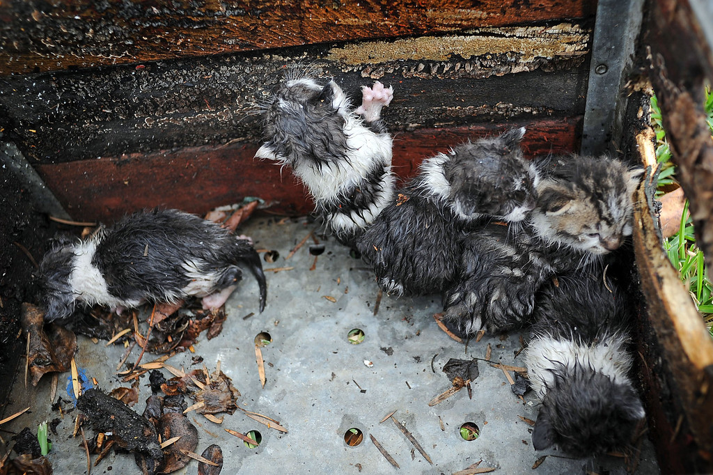 . Firefighters rescued a litter of kittens from a structure fire in the 17800 block of Vanowen St. in Reseda, CA April 10, 2014.(Andy Holzman/Los Angeles Daily News)
