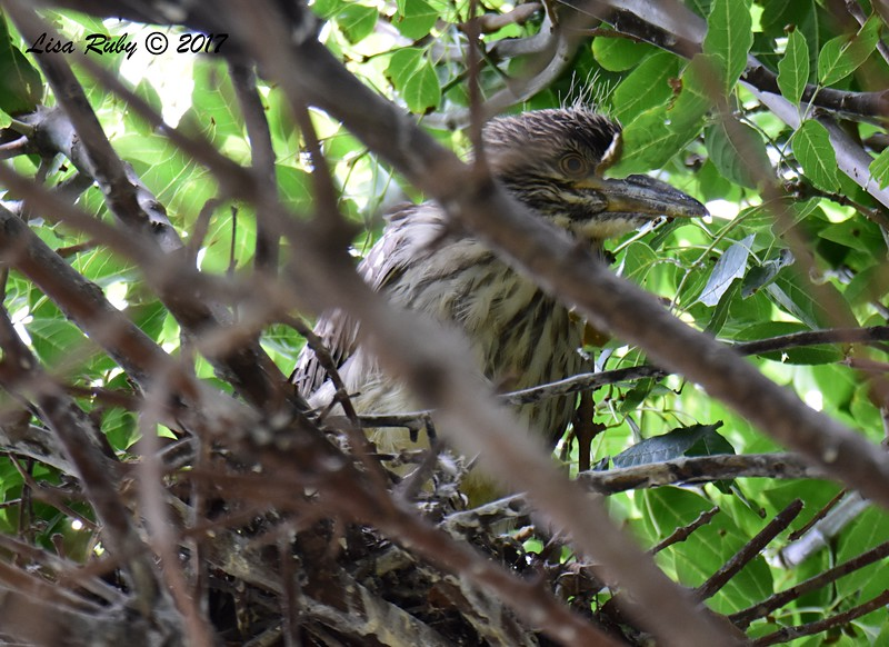Night Heron (probably Black-crowned) still in nest  - 5/26/2017 - Imperial Beach Sports Park