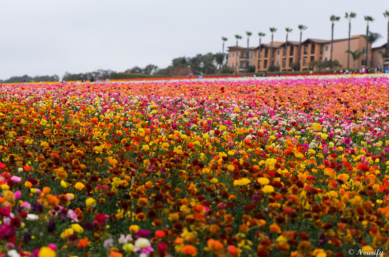 130428_116_FlowerField.jpg