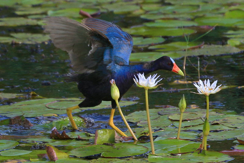 zAnahuac 8-21-14, Old T3i, 084A, PG adult, wings up, on Lilies (1 of 1).jpg