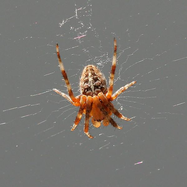 2419 Spider.jpg