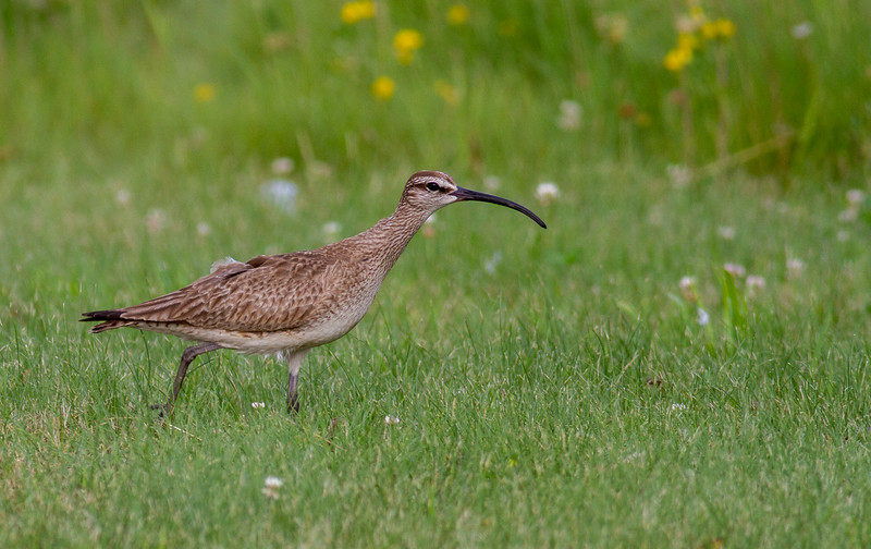 Whimbrel summering on Park Point Duluth MN -0289.jpg