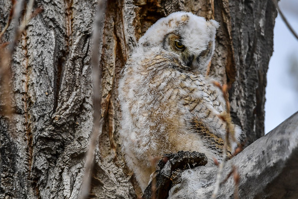 4-12-16 Great Horned Owlets - Stpats.