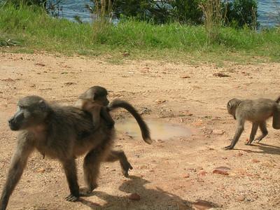 Baboons & Vervet Monkeys