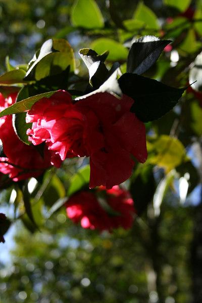 Descanso Gardens, La Canada Flintridge, CA.