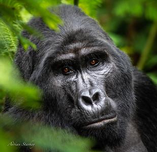 3 Bwindi Forest Gorillas