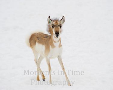 Deer, elk and pronghorn