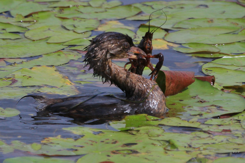 zzAnahuac 8-31-14 323A, Pied-billed Grebe with Crawfish SMALL.jpg