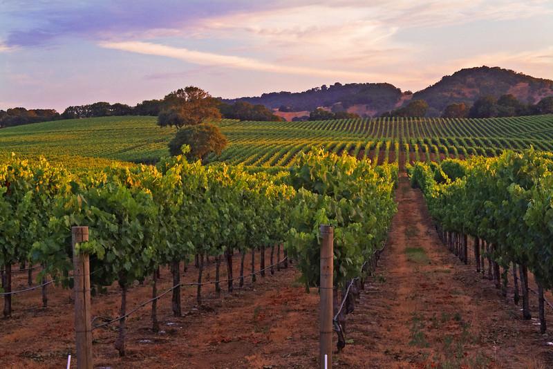 Vineyard Sunset Glow Napa Valley, California