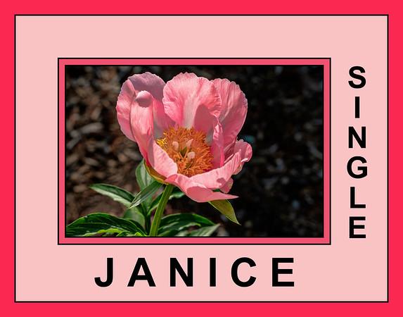 Janice peony (Bed 01), Albiflora x lobata hybrid