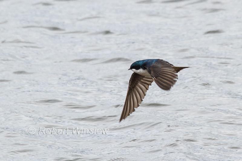 Tree Swallow, Tachycineta bicolor, La Plata County, Colorado, USA, North America