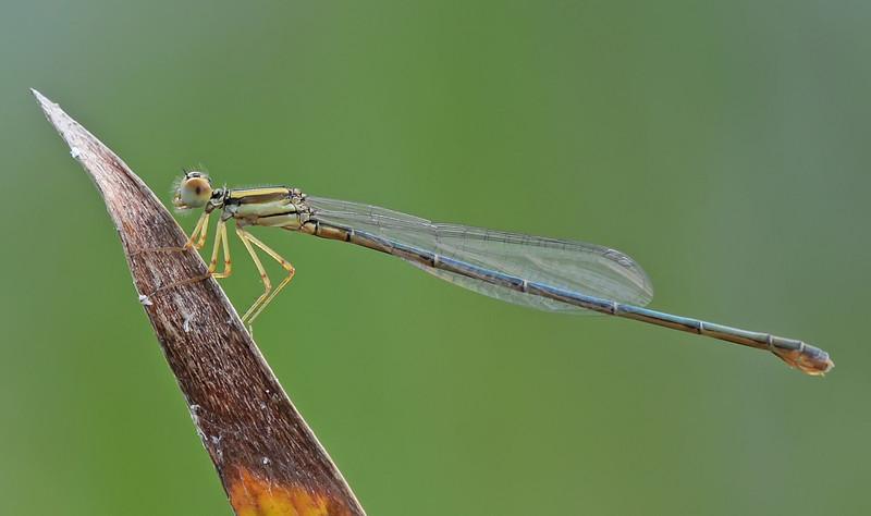 Enallagma concisum (Cherry Bluet), GA