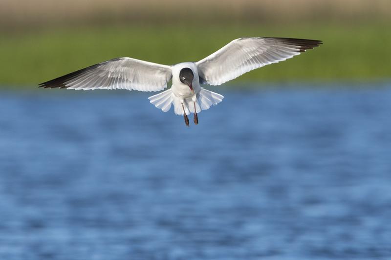 Laughing Gull in Flight Three.jpg