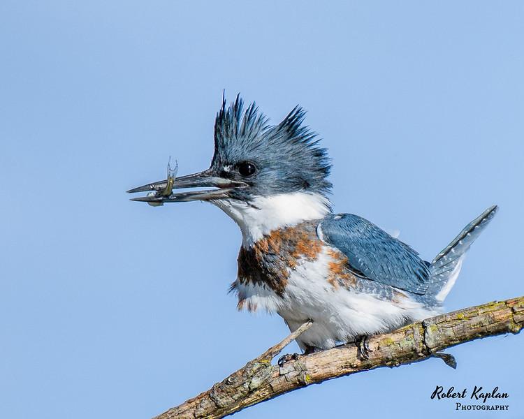 Kingfisher-3745.jpg