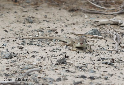 Striped Sand Lizard