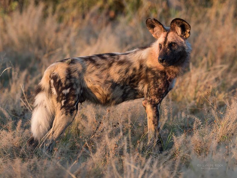 African Wild Dog, Savuti, Chobe NP, Botwana, May 2017-8.jpg