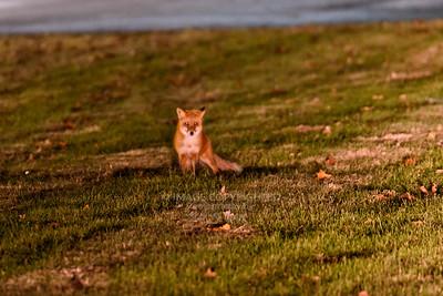 12/23/19 Red Fox