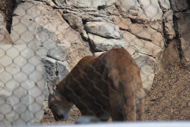 20170807-006 - San Diego Zoo - Mountain Lion.JPG