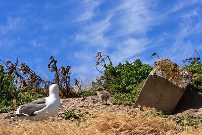 Anacapa Island - Gulls, chicks, eggs